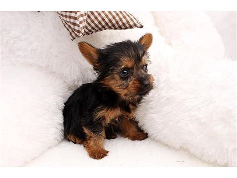 yorkie puppies sacramento adorable tiny t cup yorkie puppies available animals sacramento california