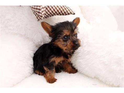 yorkie breeders sacramento adorable tiny t cup yorkie puppies available animals sacramento california