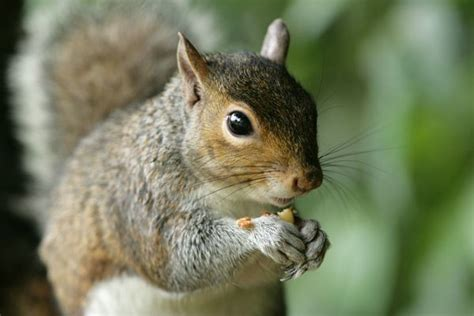 squirrel images squirrels diet habits other facts