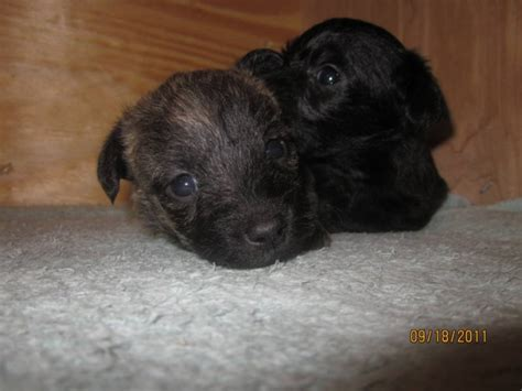non shedding puppies for sale cairnoodle puppies for sale non shedding for sale in st ontario ads in