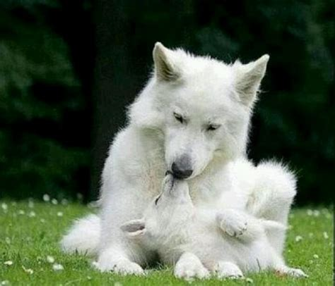Wolfie On White Tote Bag top 25 ideas about white wolves on a wolf