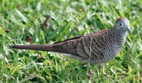 Makanan Perkutut penjelasan burung perkutut mulai dari makanan suara dan