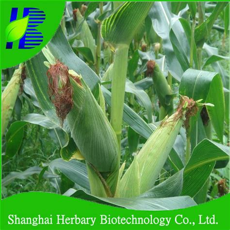 Benih Sayur Bibit Benih Seed Black Corn Jagung Hitam Unik Mudah Tu hybrid lilin manis ketan kuning putih hitam ungu benih jagung buy product on alibaba