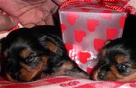 yorkie periodontal disease terriers yorkie puppies breeder information san diego