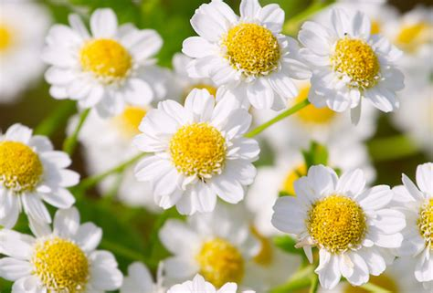 fiori camomilla dermatite ed eritemi della pelle da stress greenstyle