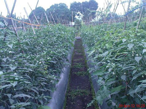 Bertanam Tomat Dimusim Hujan cabe di musim hujan hama cabe klinik pertanian organik