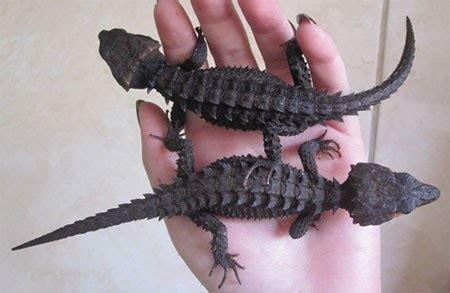 Mainan Binatang Karet Lizard Kadal ngopi dulu yuk kadal duri mirip buaya yang jinak