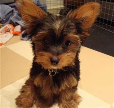 yorkie poodle mix information yorkipoo breed information and pictures