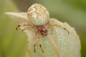 Garden Spider Bite Treatment Garden Spider Bite Photos