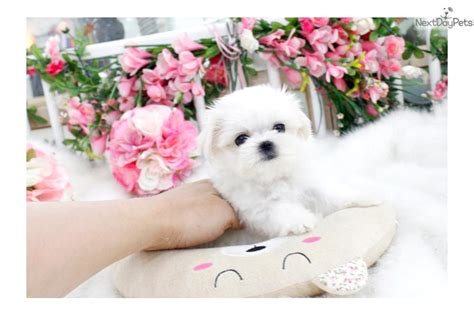 dogs for sale seattle maltese puppy for sale near seattle tacoma washington 5f0bcaf2 ac51