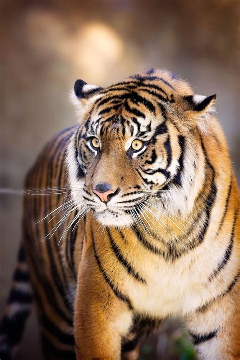 Amazing Animals Tigers 25 best ideas about tigers on tigers