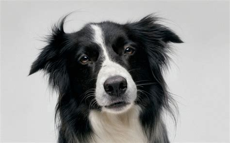 border collie border collie 1280x800 wallpapers 1280x800 wallpapers pictures free