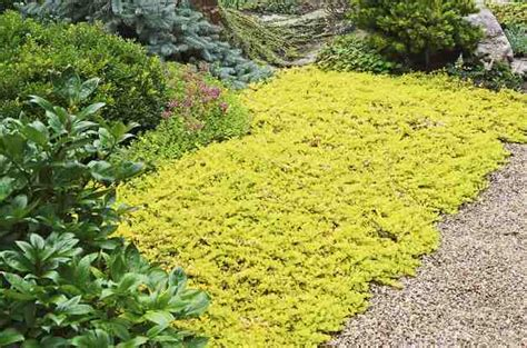 full sun ground creeping plants pictures to pin on pinterest page 2 pinsdaddy