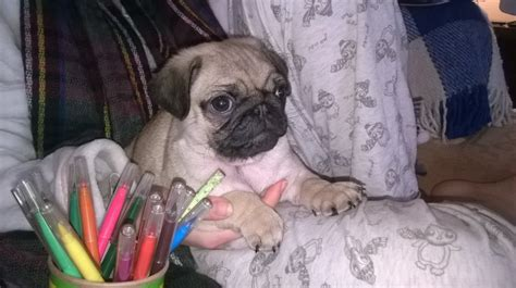pugs for sale wigan fawn boy pug for sale wigan greater manchester pets4homes
