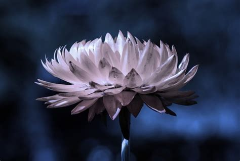 fiori notturni moonlight garden scopri cosa sono i giardini notturni