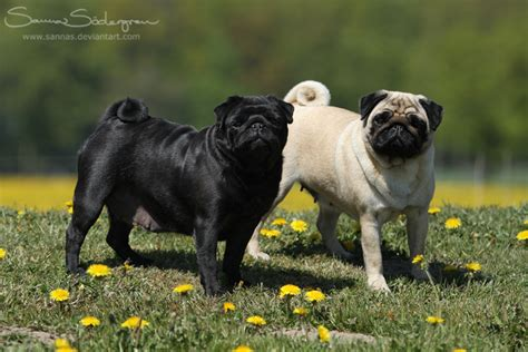 black and pug pug black and fawn by sannas on deviantart