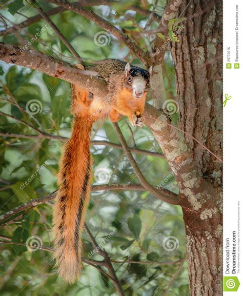 squirrel hung by nuts bachman s squirrel a nut stock image image 29779515