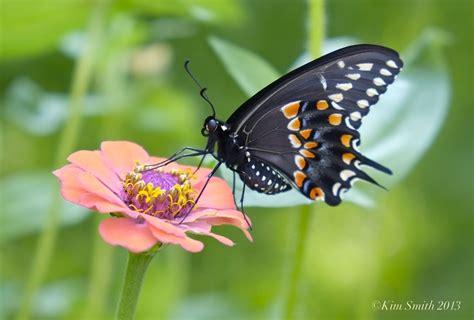 Butterfly Black black swallowtail butterfly goodmorninggloucester