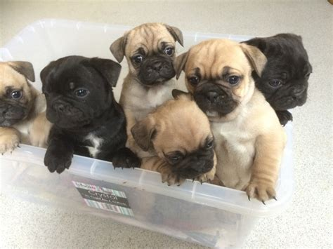 frenchie pugs for sale beautiful bulldog x pug puppies for sale gillingham kent pets4homes