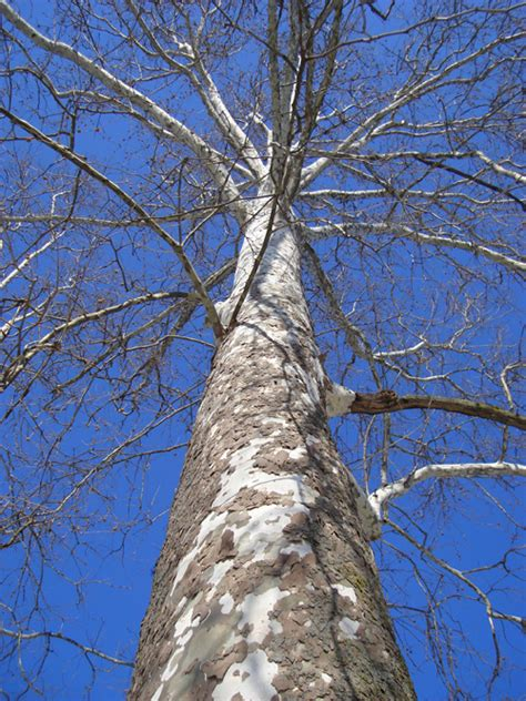 american sycamore tree of the month american sycamore arborscapes