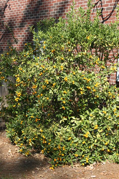 Southern Gardens Citrus by Mississippi Gardens Can Produce Fresh Citrus Fruit