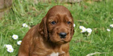 irish setter male dog names easy to build shed storage shed building plans 12x16