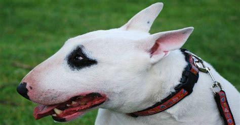 ley de razas de perros peligrosos boo the dogs seguros para perros peligrosos