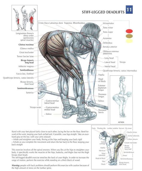 muscles in buttocks diagram stiff legged deadlifts health fitness exercises