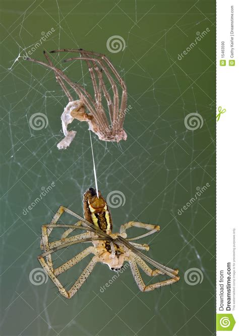 spider after shedding stock photo image 15463590