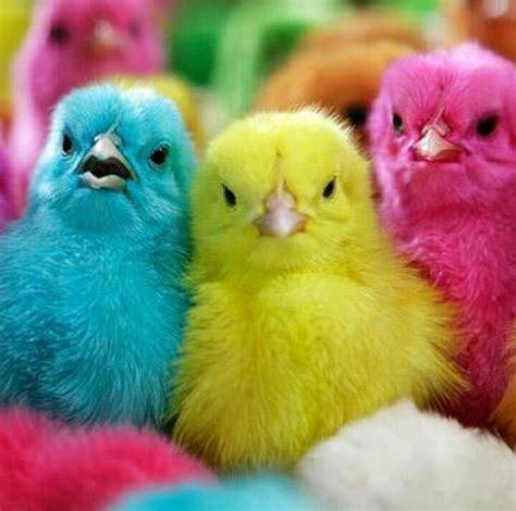 colorful chickens colorful cutee