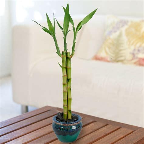 Plante D Intérieur Porte Bonheur by Bambou D Int 233 Rieur Comment Cultiver Cette Plante Exotique