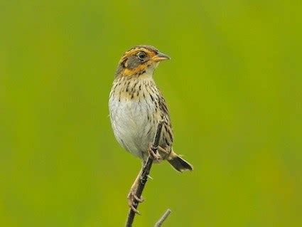 saltmarsh sparrow identification all about birds