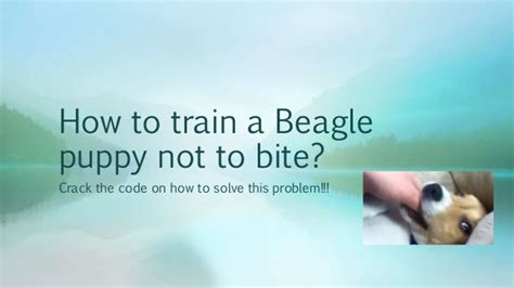 how to to not bite how to a beagle puppy not to bite the code on how to so