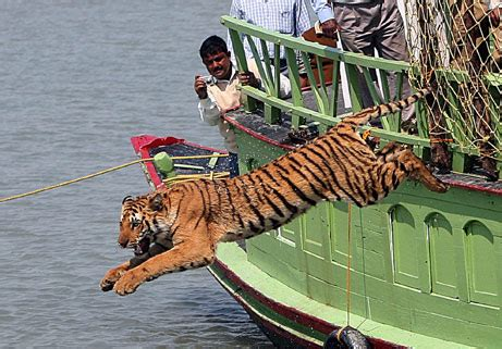 on a boat with a tiger tiger jumping off a boat alistair pott