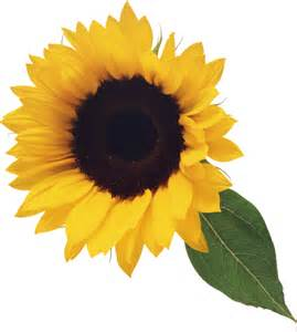 Sunflower Outline Png by Sunflower Clipart Transparent Clipartsgram