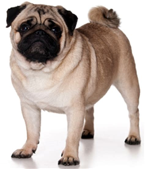 what is a pugs span pug