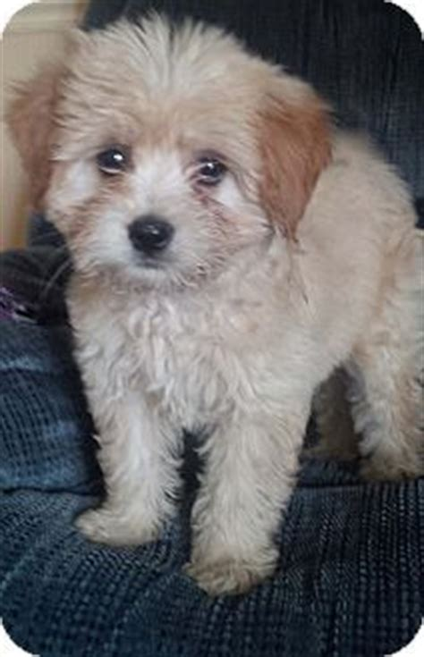 pomeranian puppies for sale rochester ny buffalo ny sheltie shetland sheepdog mix meet ponch a puppy for adoption http