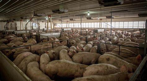 Oklahoma Sale Barns Spy Drones Expose Smithfield Foods Factory Farms Spraying
