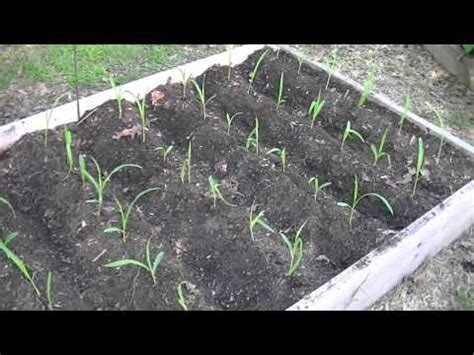 growing corn in raised beds container corn growing corn in 5 gal buckets doovi