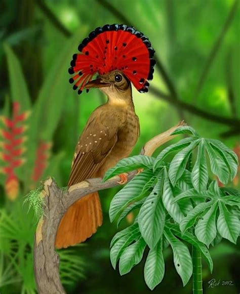 amazonian royal flycatcher for the love of birds