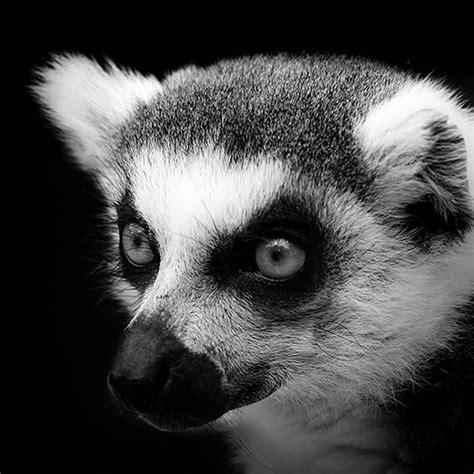black and white animals black white animals portraits fubiz media