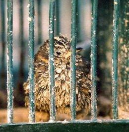 uccellini in gabbia gli uccellini in gabbia chiesa assemblea di dio missionaria