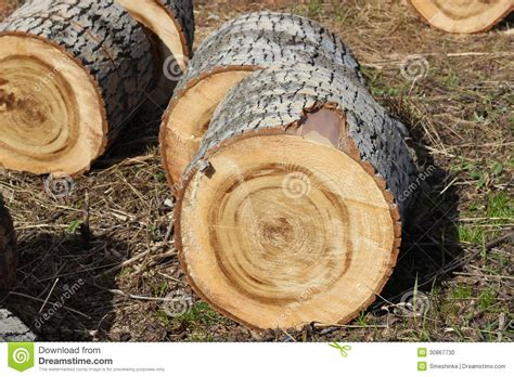 Cutting A Tree In Sections by Sections Of Tree Trunk Stock Photo Image 30867730