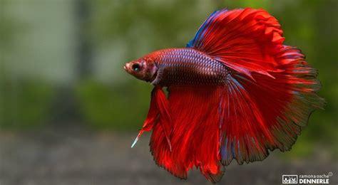 Ikan Hias Cupang Half Moon Biru Hijau Kuning Size Xl 14 Jenis Ikan Cupang Aduan Dan Hias Terbesar Satriabajahitam