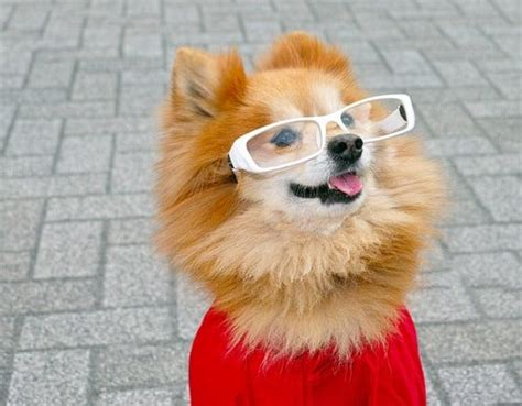 owning a pomeranian 10 things you should before owning a pomeranian top 10 lists listland