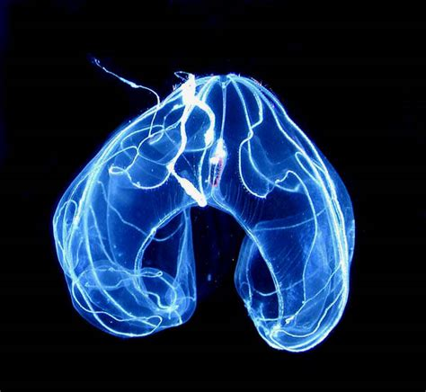 Bioluminescent Jellyfish L by Top 10 Creatures That Glow In The