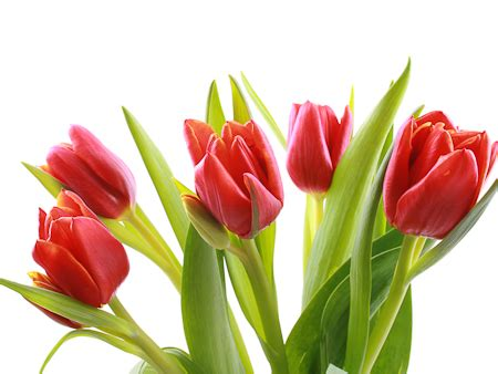 12 fun facts about tulips holy kaw