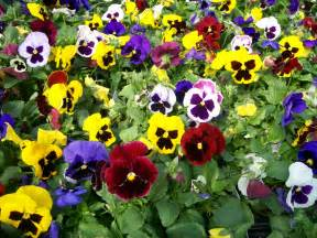 pansy colors pansies plant pansies violas great color you can