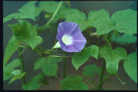 Morning Pharbitis Nil T1310 2 morning glories database and local strains of asagao