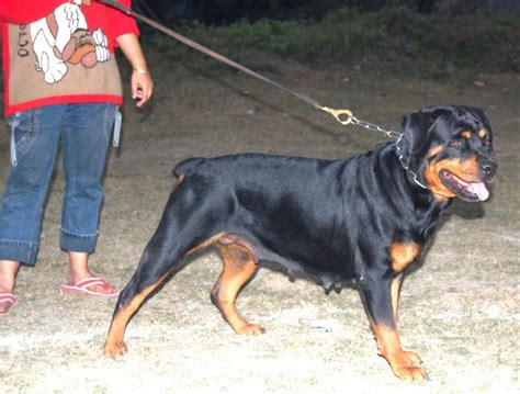 rottweiler india rottweiler show in india dogs in our photo